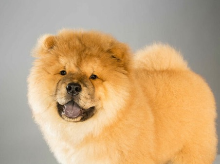 cach nuoi cho chow chow