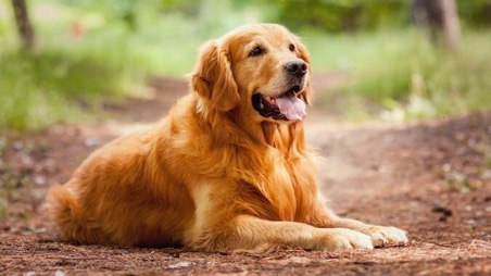 cho golden retriever 2